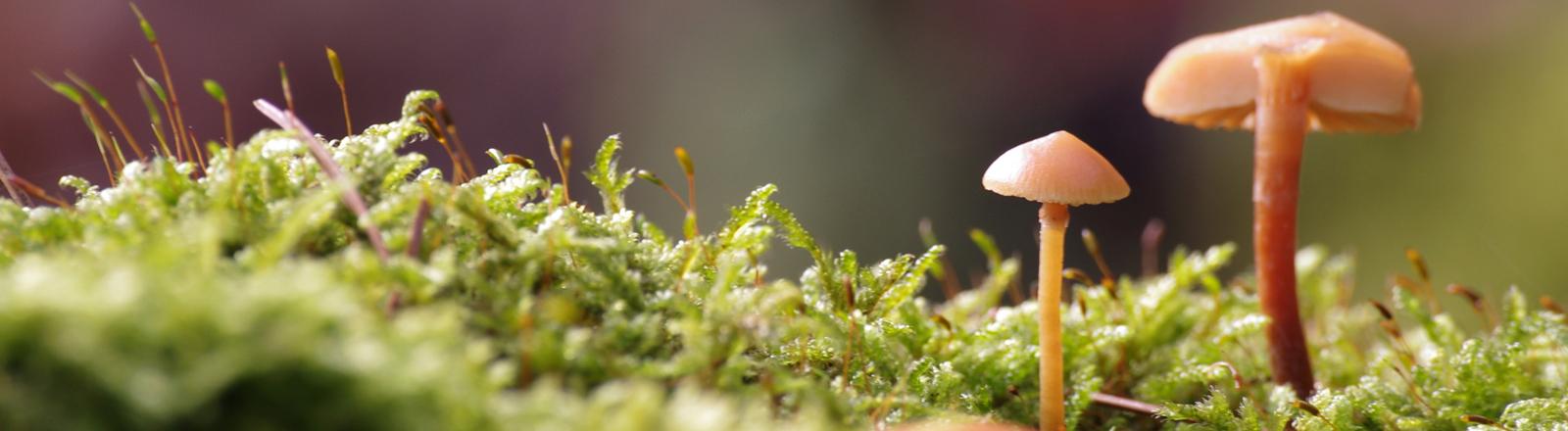 Kleine Pilze wachsen auf Moos