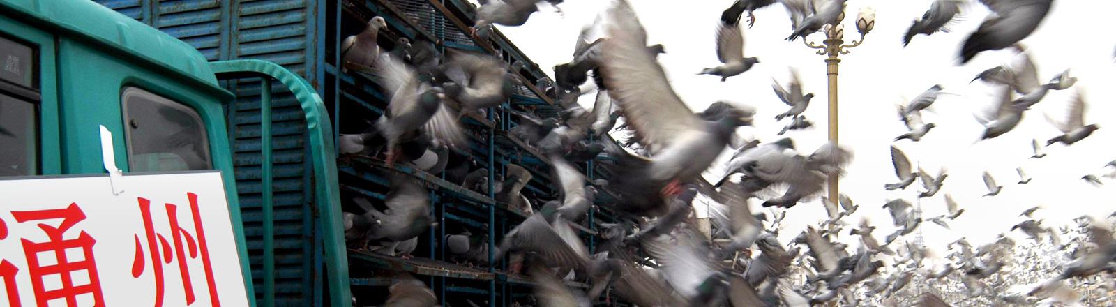 Aus einem LKW fliegen tausende Tauben