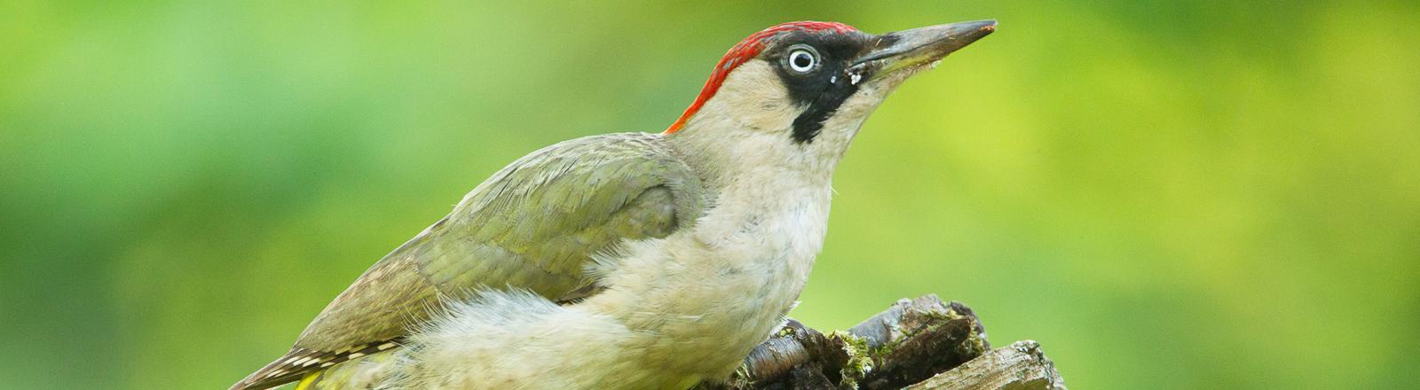 Vogel des Jahres 2014: Der Grünsprecht