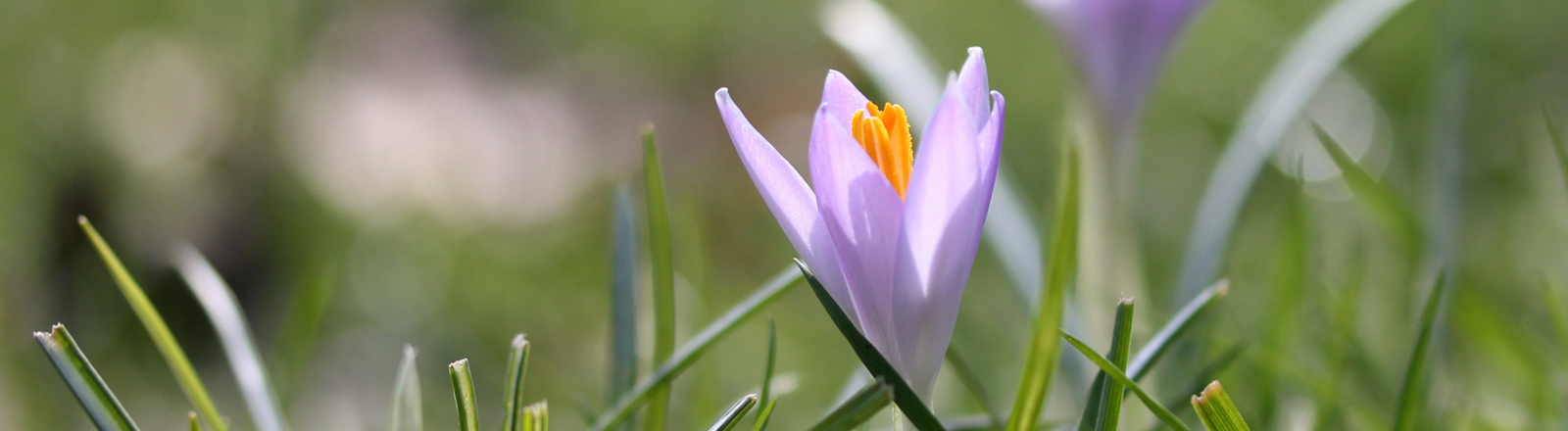 Frühlingsgefühle - die ersten Krokussen kommen aus dem Boden.
