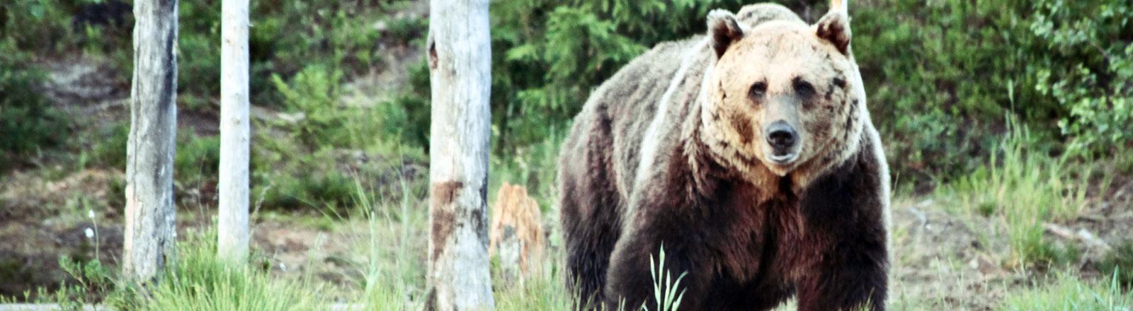 Ein Grizzlybär schaut in die Kamera.