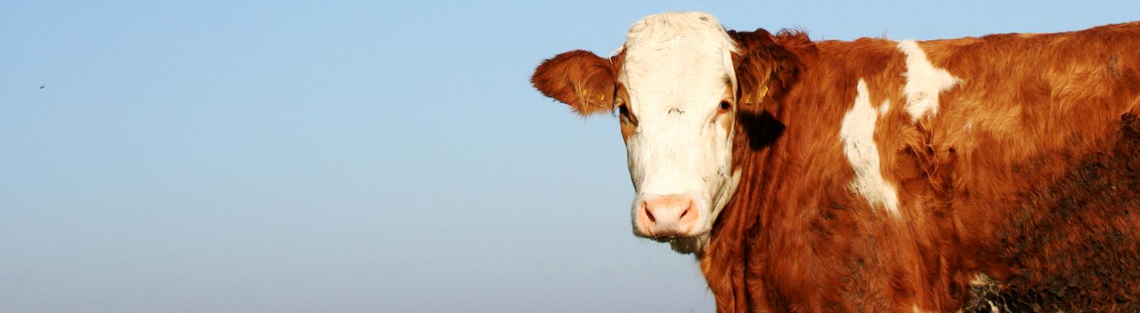 Eine Kuh vor blauem Hintergrund