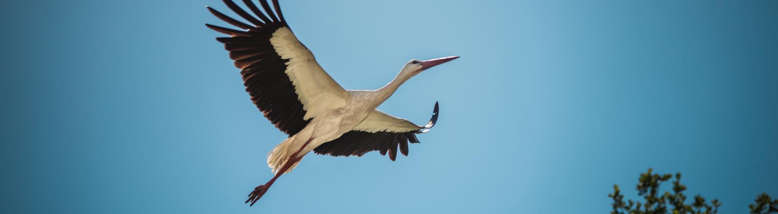 Ein Storch fliegt.