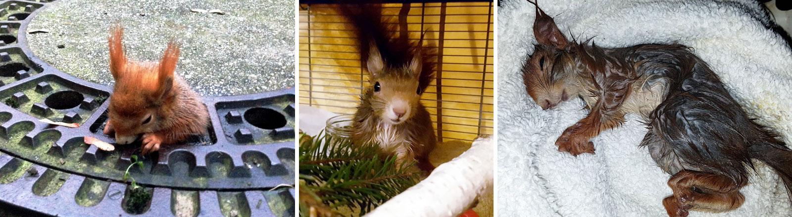 Ein Eichhörnchen steckt in einem Gullydeckel fest.