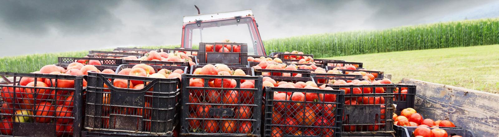 Tomatenernte mit Traktor