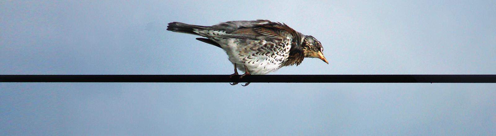 Ein kleiner Vogel sitzt auf einem Drahtseil und schaut nach unten.