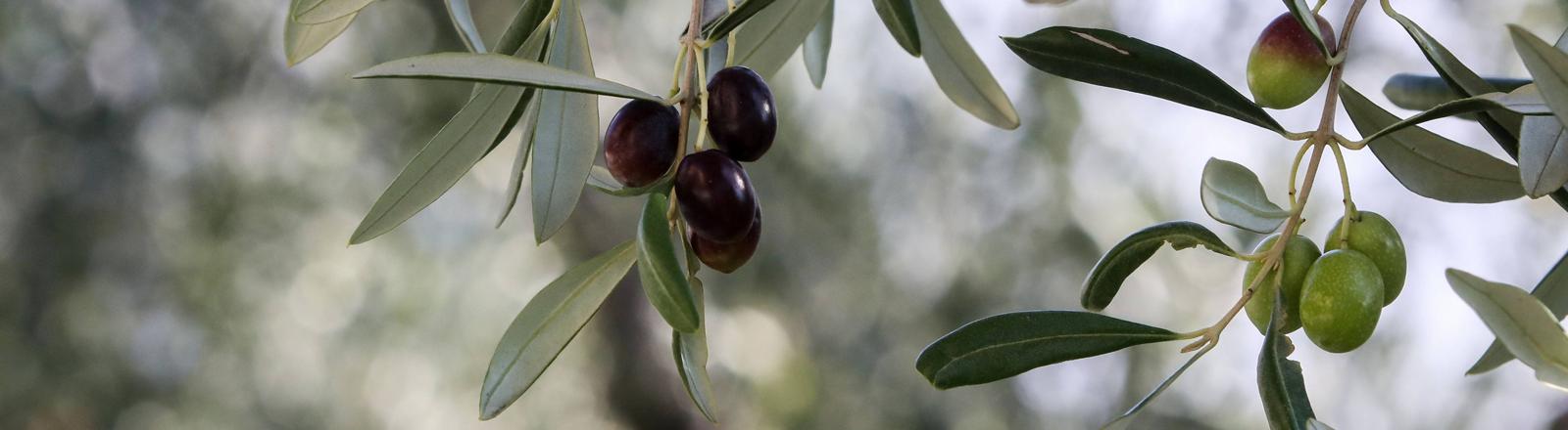 Nahaufnahme von Oliven am Baum