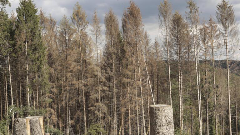 Vorne gerodete Waldfläche, hinten vom Borkenkäfer befallene Fichten (Bergisches Land, Nordrhein-Westfalen, Deutschland)