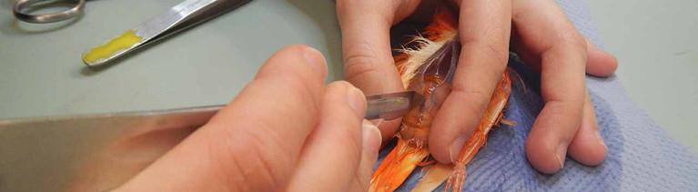 Die Tierpräparatorin Victoria Niemann entfernt Fleischreste von den Knochen eines Kanarienvogels.