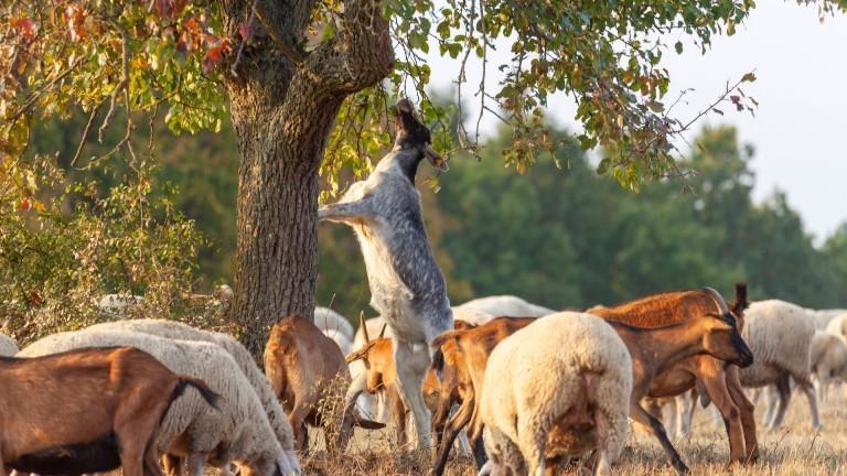 Ziegen, die an und um einen Baum fressen