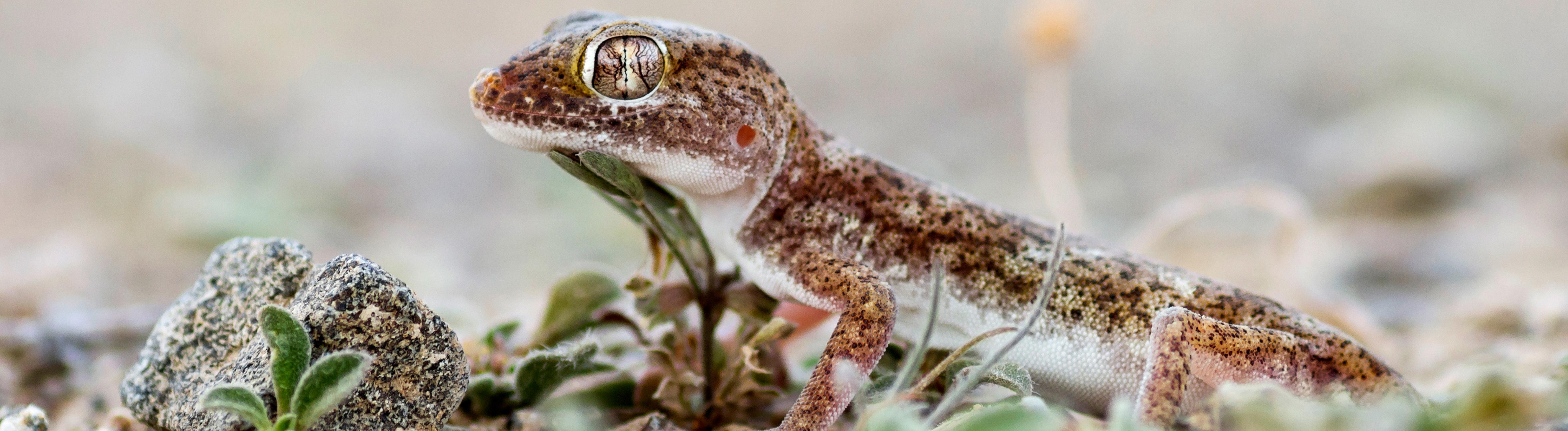 Oestlicher Sand-Gecko, Oestlicher Sandgecko (Stenodactylus leptocosymbotes), Seitenansicht, Oman Southern short-fingered Gecko, Eastern sand gecko (Stenodactylus leptocosymbotes),