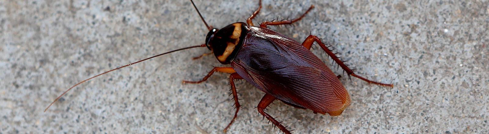 Eine Kakerlake.