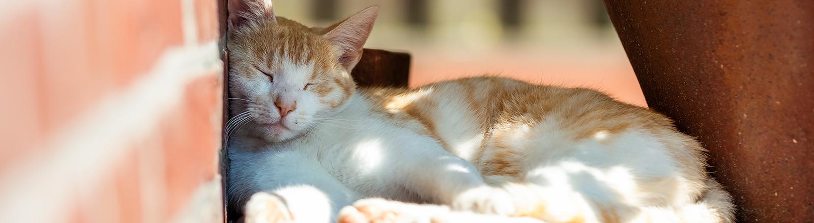13.07.2018, Niedersachsen, Friesoythe: Eine Katze schläft bei sonnigem Wetter an einer Wand im Schatten eines Blumenkübels. Foto: Mohssen Assanimoghaddam/dpa