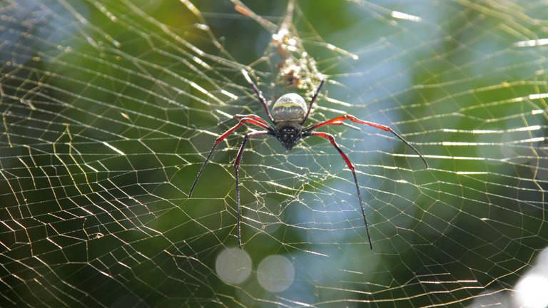 Eine Seidenspinne im Netz.