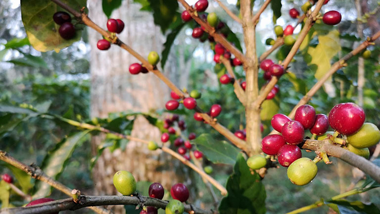 Eine Arabica-Kaffeepflanze mit roten und grünen Kaffeekirschen