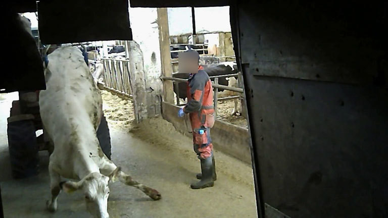 Eine Kuh wird mit einem Traktor durch den Stall gezerrt.