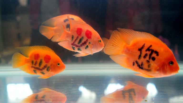 Goldfische mit tätowierten chinesischen Schriftzeichen