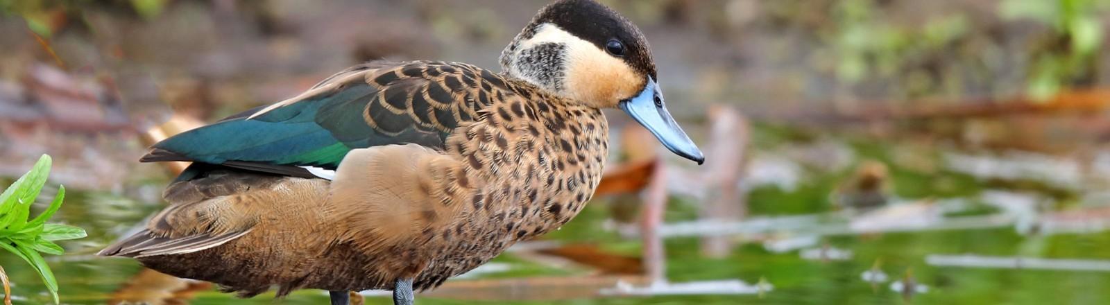 """Eine Ente (Anas punctata), die den rassistischen Namen der """"Hottentottenente"""" trägt."""