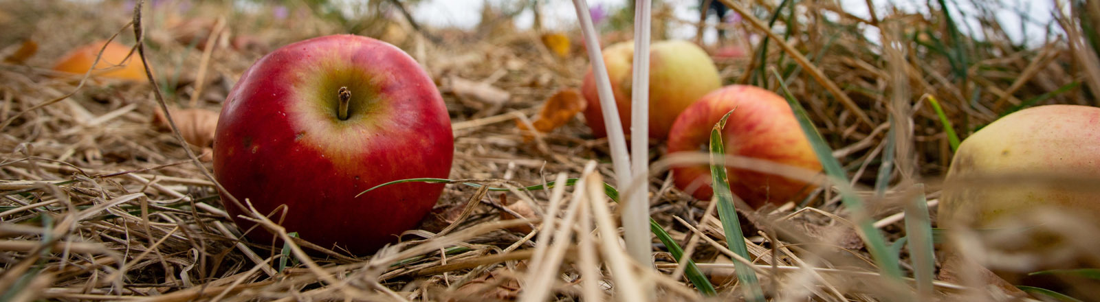 Äpfel auf einer Streuobstwiese