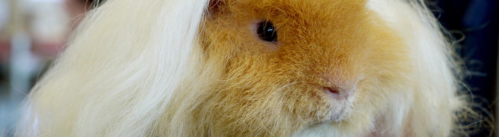 Alpaka Meerschweinchen. dpa