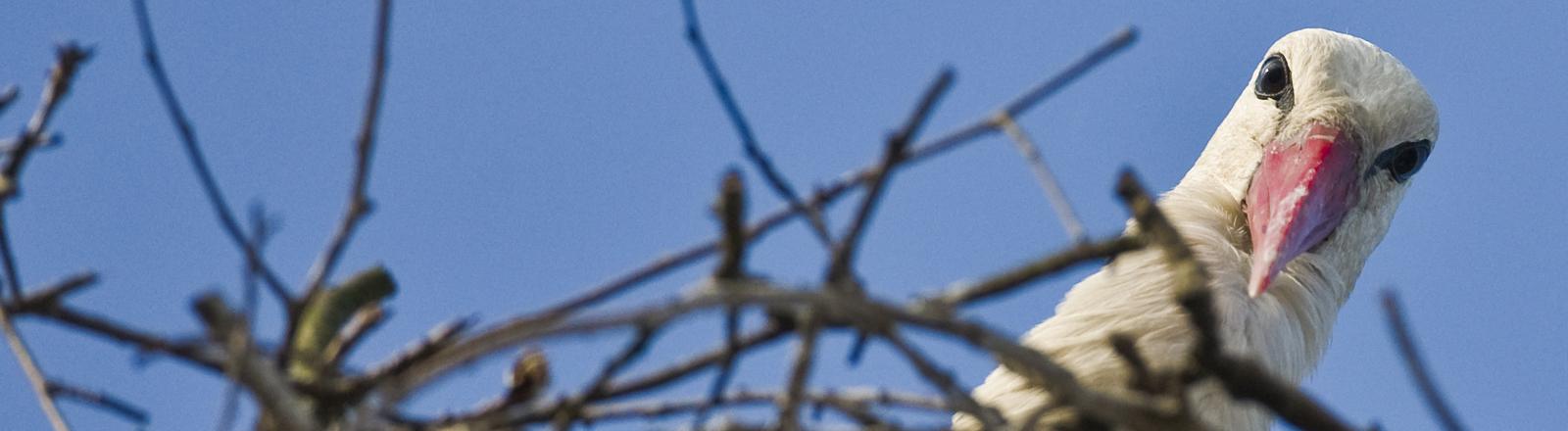 Storch schaut aus seinem Nest