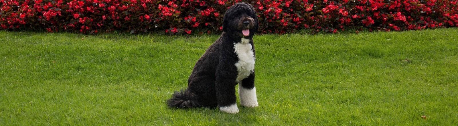 Bo, der Hund der Obamas, vor dem Weißen Haus.