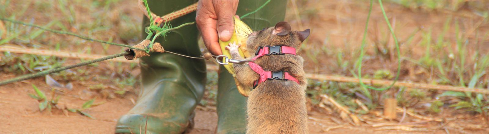 Spürratten in Tansania erschnüffeln Landminen, Sprengstoff und Krankheiten.