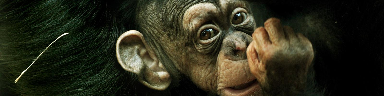Ein kleiner Schimpanse hängt am Bauch seiner Mutter. Bild: dpa