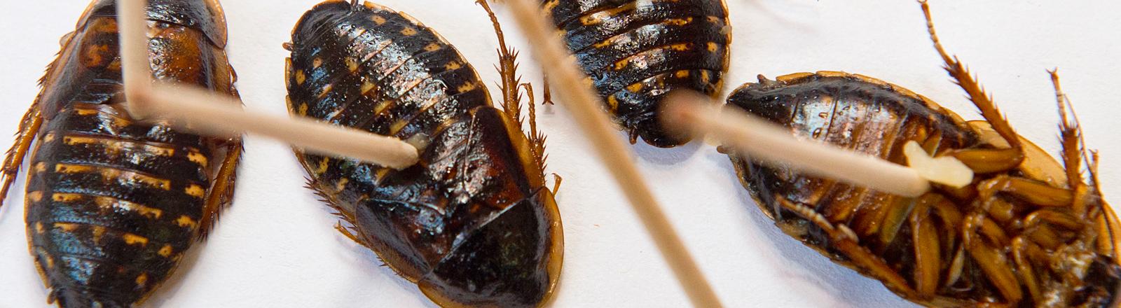 Drei gegrillte Kakerlaken. In zweien stecken Hölzchen, um sie zu verspeisen, Bild: dpa
