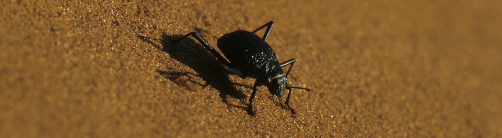 Der Onymacris unguicularis - der Nebeltrinker-Käfer in der Namibwüste.