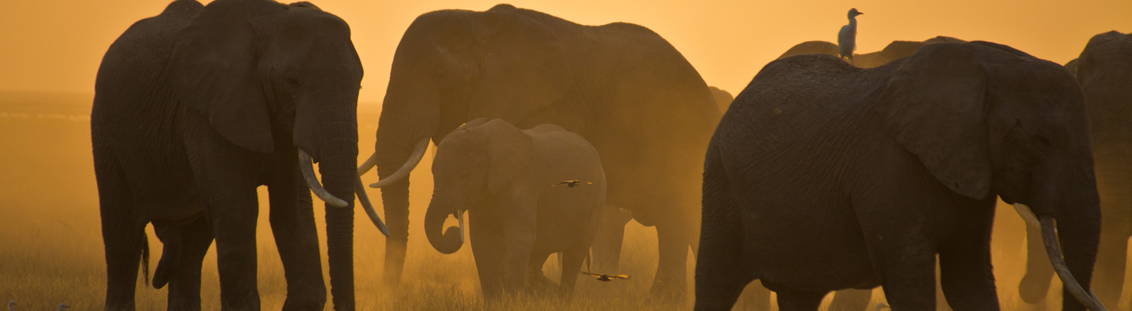 Eine Elefantenherde durchstreift friedlich die Masai Mara.