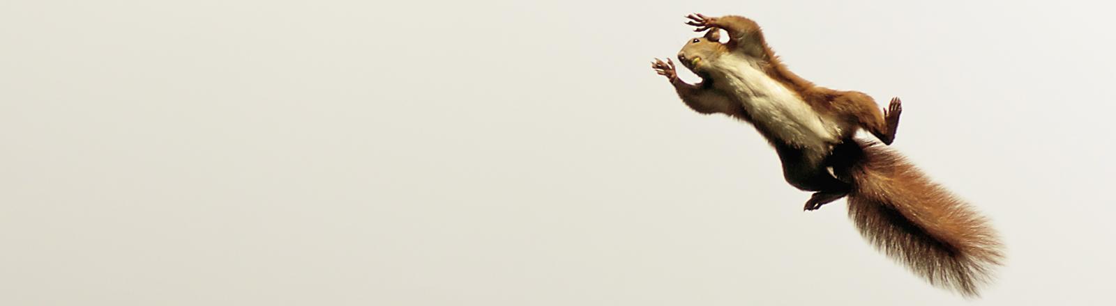 Ein Eichhörnchen springt durch die Luft.