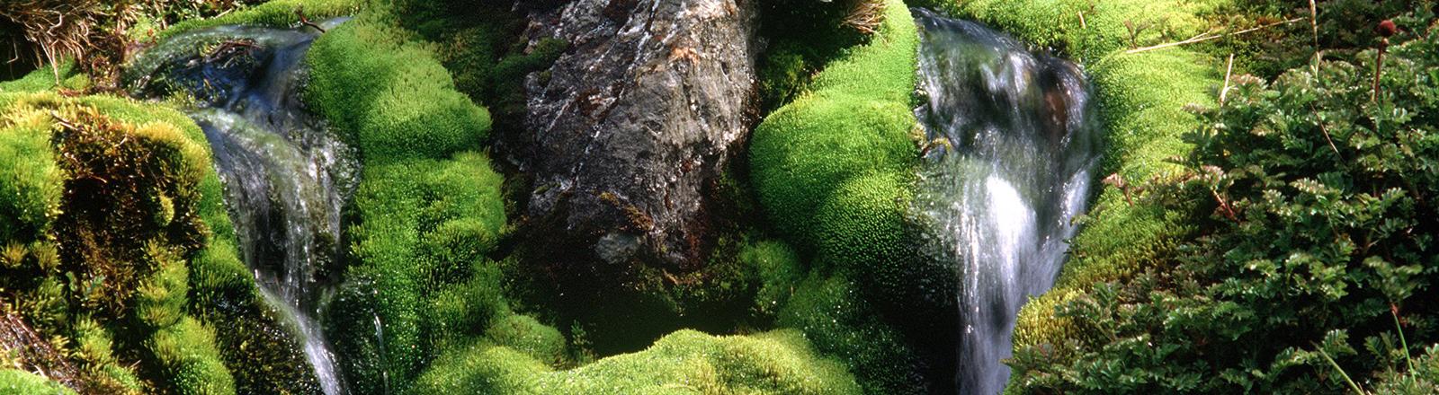 Um den kleinen Wildbach in einer subantarktischen Region wachsen zahlreiche Moose.