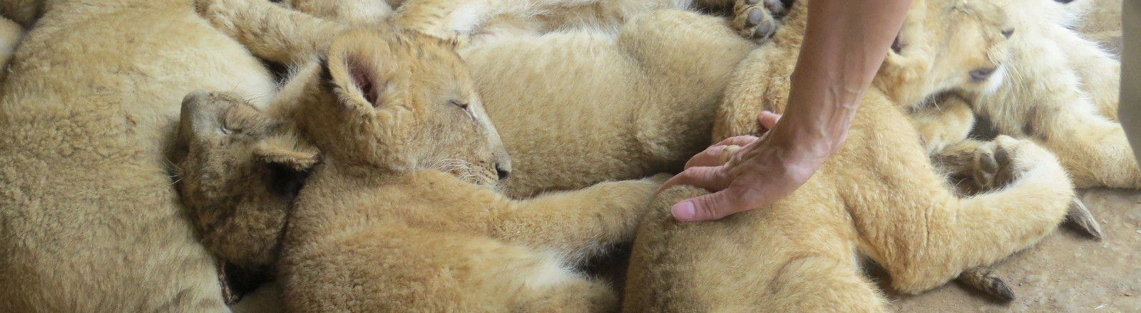 Eine Frau streichelt Löwenbabys in einem Gehege in Südafrika.