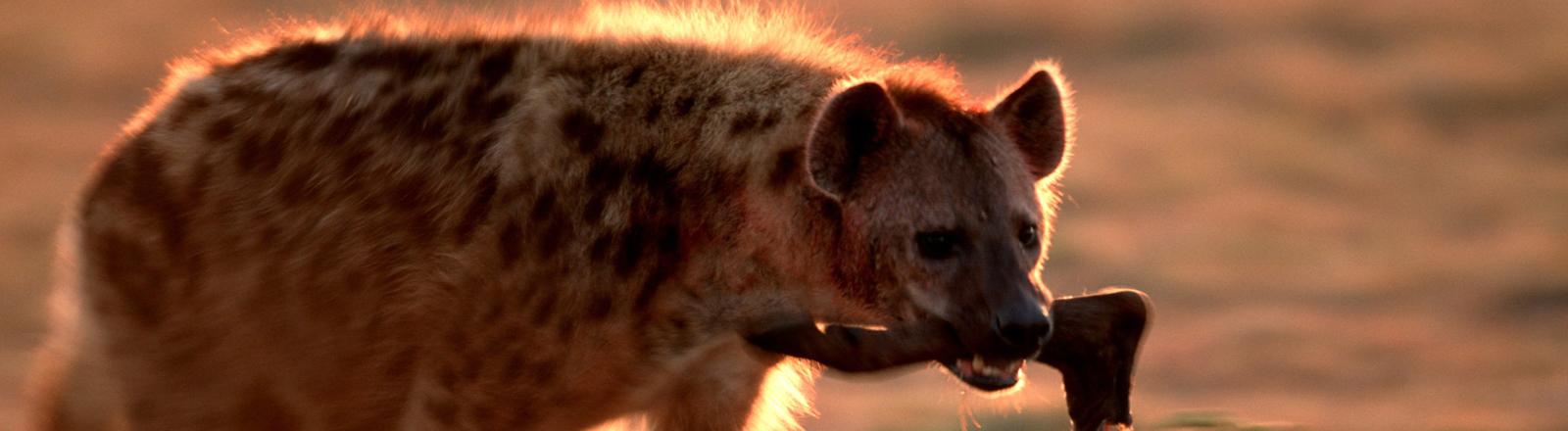Eine Hyäne hält ein abgebissenen Lauf im Maul.