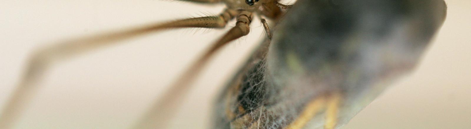 Eine Spinne verpackt ihre Beute.