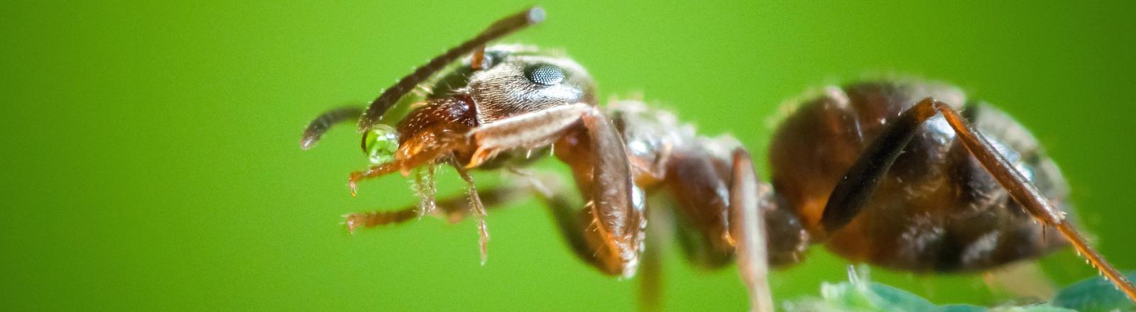 Eine Ameise vor grünem Hintergrund.