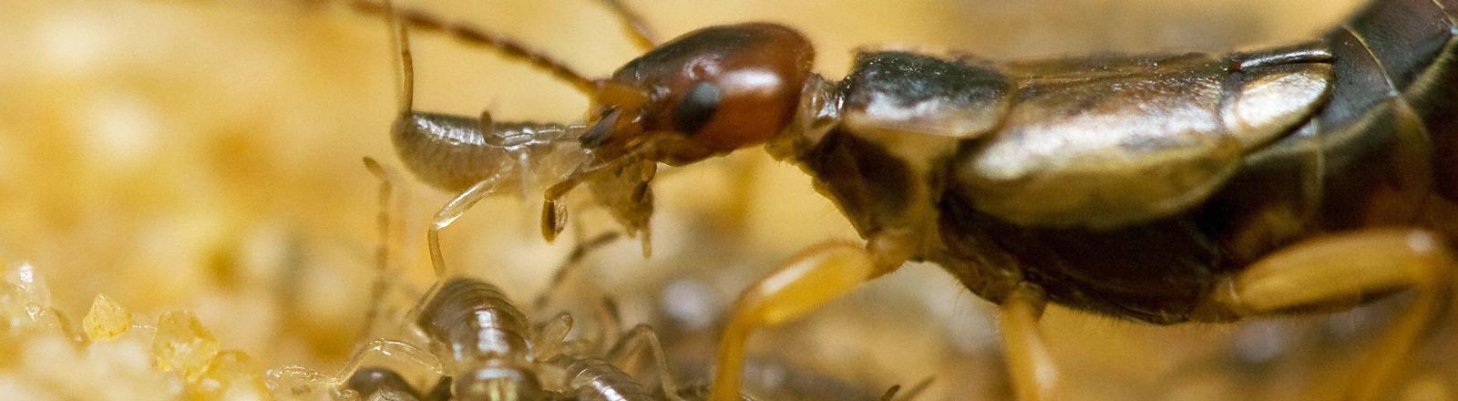 Ein Weibchen des Europäischen Ohrwurms säubert und transportiert ihre Jungen.