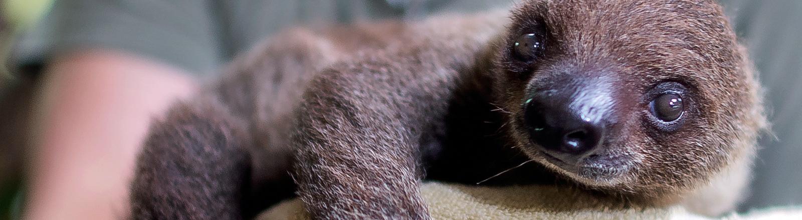 Ein am 4. September 2013 geborenes Faultier wird von Tierpflegerin Stefanie Silbermann vorsichtig zum Wiegen getragen.