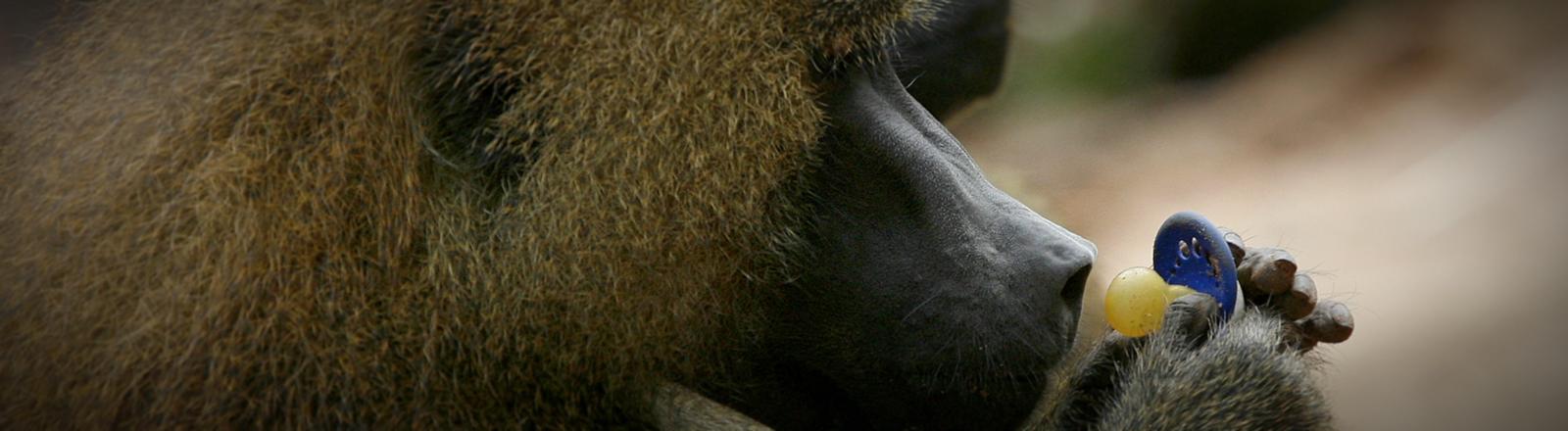 Ein Pavian betrachtet einen Schnuller.