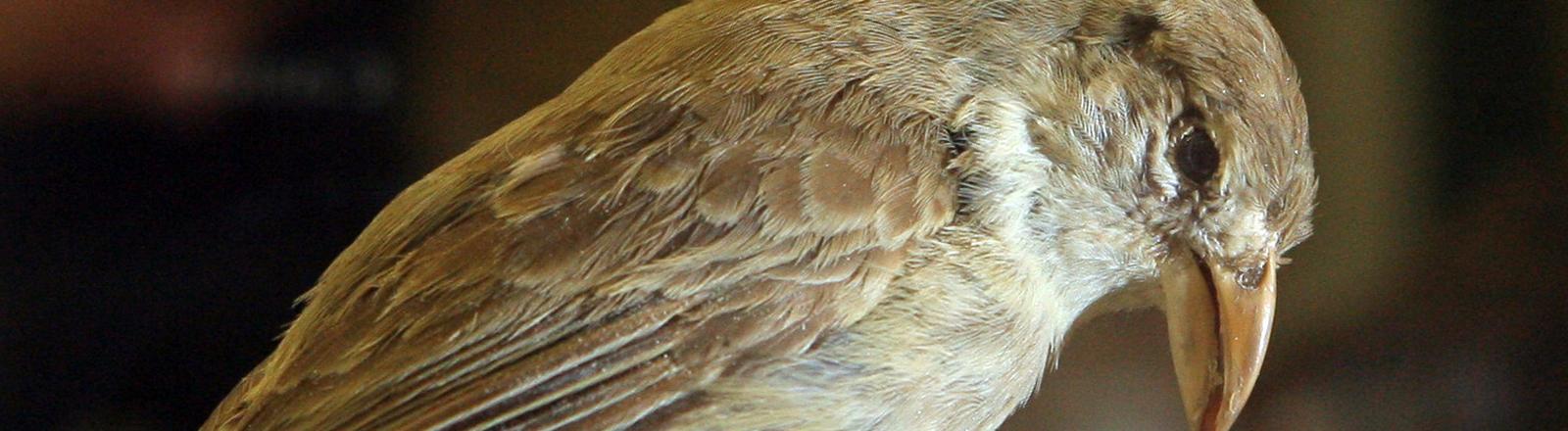 Mit Insektiziden getränkte Wattebäusche sollen Darwinfinken vor dem Aussterben retten.