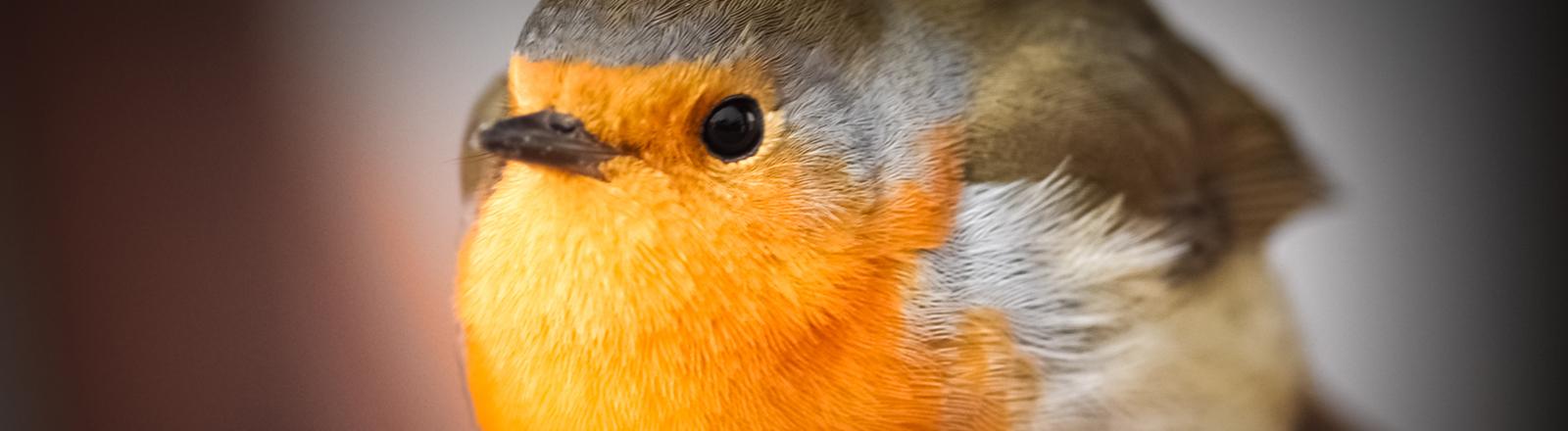 Ein Rotkehlchen sitzt auf einem Ast und lässt keine Gefühlsregung erkennen.