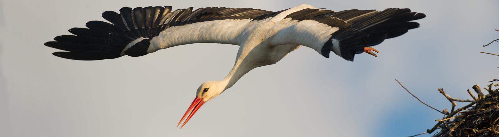 Ein Storch hebt vom Nest