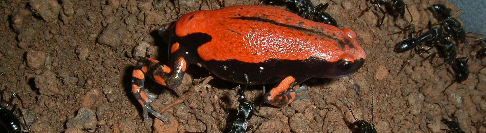 Ein schwarzer Frosch mit rotem Rücken sitzt auf der Erde, um ihm herum Ameisen.