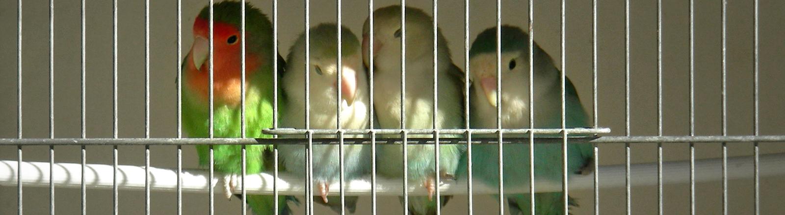 Vier Vögel sitzen im Vogelkäfig auf einer Stange ganz eng beieinander.