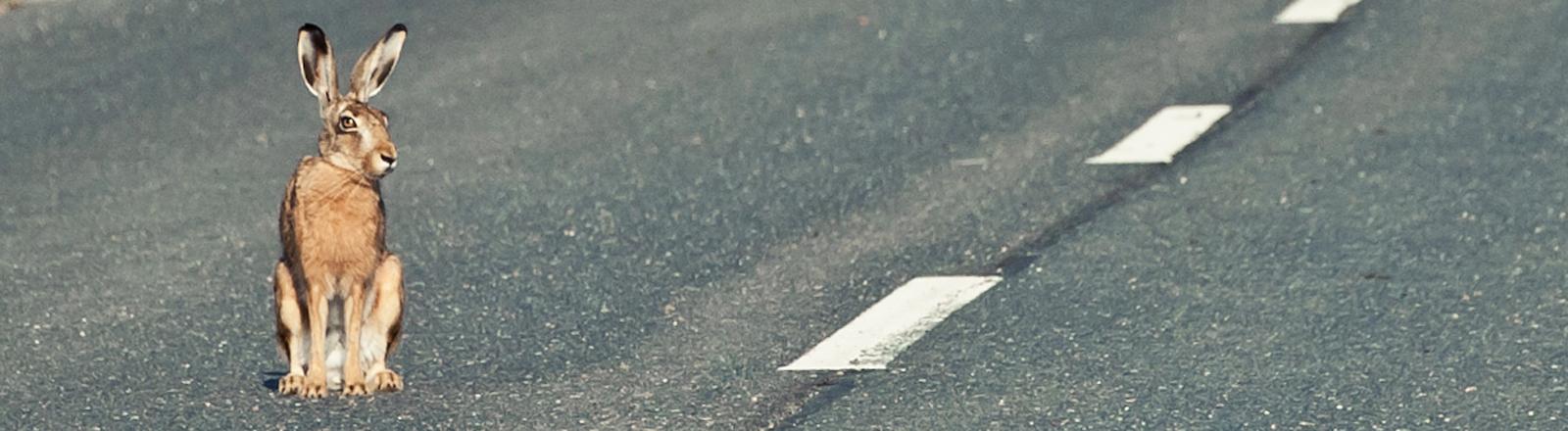 Ein Hase sitzt mitten auf der Straße und blickt Richtung Kamera.