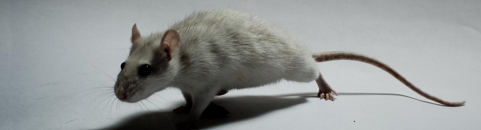 Eine Ratte krabbelt auf dem Boden