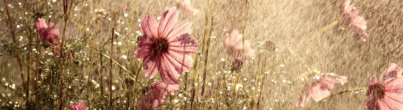 Ein schöner, frischer Sommerregen auf roten Blüten einer Cosmea.