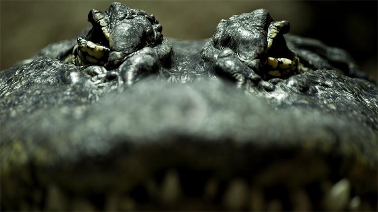 Krokodilaugen