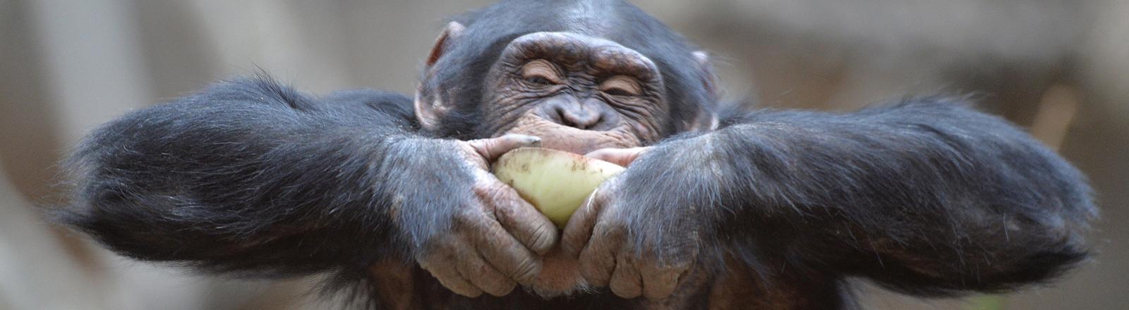 Ein Schimpanse frisst eine Frucht